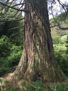 Sequoia de Rocafiguera